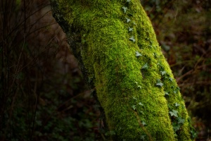 Ravenna, tree, ivy, 2010-12-23