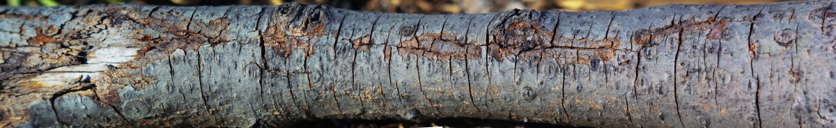 cracked bark panorama