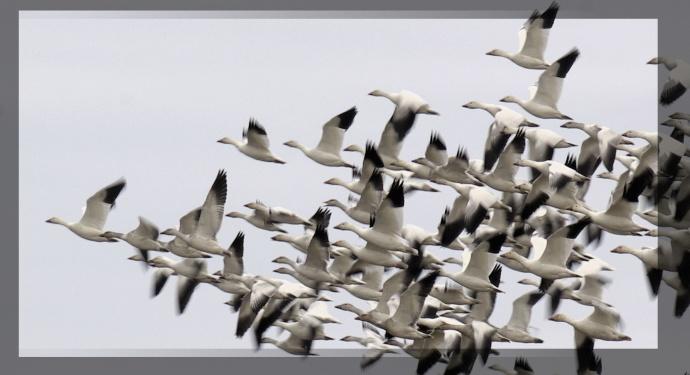 2014-01-01-Skagit-Perserve-Flying-Geese-1836x1000