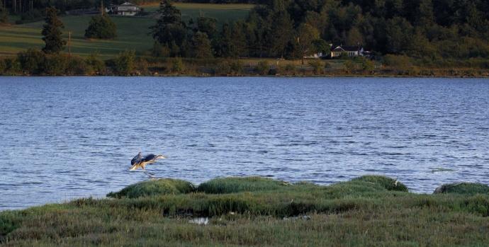 Great Blue Heron, 2014-08-20, Fishermans-Bay, Lopez Isl, WA