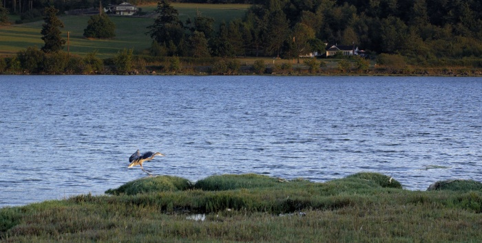 Great Blue Heron, 2014-08-20, Fishermans-Bay, Lopez Isl, WA