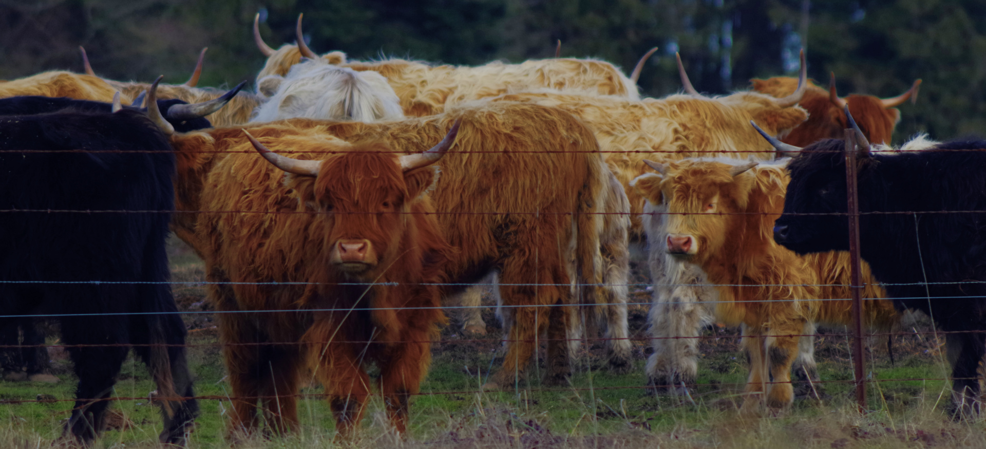 2016-01-03-highland-cattle-1